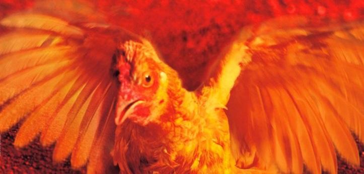 cdd galinha